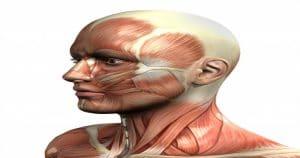 Músculo Temporoparietal é um dos que fazem parte da face