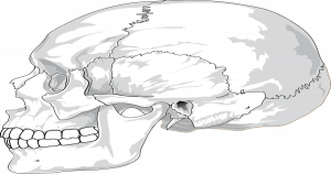 Ilustração de um crânio - Entenda tudo sobre o osso zigomático e sua importância